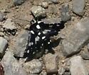 Moth or Butterfly - Thyris sepulchralis