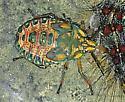 Stinkbug Nymph - Apoecilus