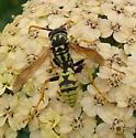 European Paper Wasp - Polistes dominula - male