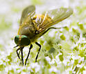 Is this golden furred horse fly Stonemyia tranquilla? - Stonemyia tranquilla - female
