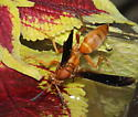 Wasp red - Polistes