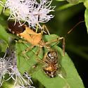 bug - Zelus janus