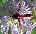 Diptera - Physocephala burgessi