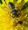 Big Bee, Little Bee - Megachile centuncularis - female