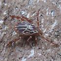 Gulf Coast Tick - male - Amblyomma maculatum - male
