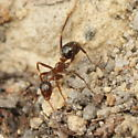 Formica  - Formica pallidefulva - female