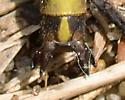 Dusky Clubtail - Phanogomphus spicatus - male