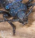 Metallic Blue Beetle. - Callidium violaceum