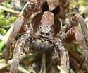 Lycosidae - Hogna frondicola
