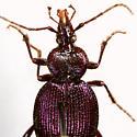 Scaphinotus (Nomaretus) cavicollis (LeConte) - Scaphinotus cavicollis