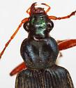 Chlaenius leucoscelis Chevrolat - Chlaenius leucoscelis