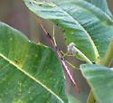 Manomera? - Manomera blatchleyi - female