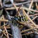 Unknown Fly - Chrysotoxum