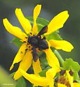 Carpenter-mimic leafcutter bee - Megachile xylocopoides
