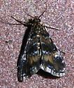 Pyrausta? - Elophila obliteralis