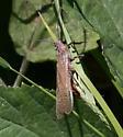 Fishfly sp - Pteronarcys