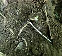 Millipedes Multiple site 2 Hayrock - Oxidus gracilis