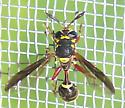 Polybiomyia bellardi - Polybiomyia bellardii - female