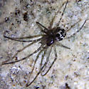 Cave spider - Meta ovalis