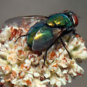 Blow Fly? - Lucilia