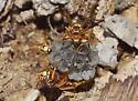 Paper Wasps - Polistes dorsalis - female