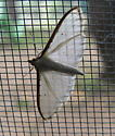 Unknown small moth with white body, clear white wings with orangey-tan outer line and few black pin dots - Palpita quadristigmalis