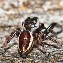 Unknown Spider - Eris militaris