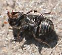Aphodiine Dung Beetle - Ataenius strigatus