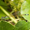Rambur's Forktail Damselfly - Ischnura ramburii - male