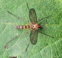Diptera. Chironomidae? - Symmerus
