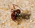 The ant won. - Pogonomyrmex