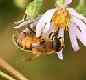 Honey Bee Mimic - Eristalis tenax - female