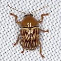 Texas Beetle - Cryptocephalus fulguratus
