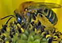 Bee on sunflower - Melissodes trinodis