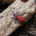 Immature Boxelder or Milkweed Bug? - Boisea trivittata