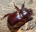 Xyloryctes thestalus? - Xyloryctes thestalus - male