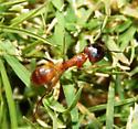 Formicinae - Camponotus festinatus