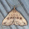 Phalaenostola eumelusalis ? - Phalaenostola eumelusalis - male