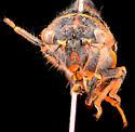 Putnam's Cicada, adult anterior - Platypedia putnami