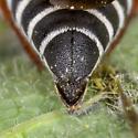 Cuckoo Leafcutter - Coelioxys immaculatus? - Coelioxys immaculatus - female