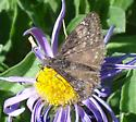 Cloudywing or Duskywing??? - Erynnis telemachus - female