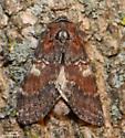Chocolate Prominent - Hodges#7921 (Peridea ferruginea) - Peridea ferruginea