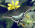 Spicebush Swallowtail - Papilio troilus - male