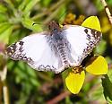 Laviana White-Skipper - Heliopetes laviana