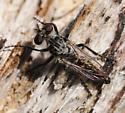 Dasypogoninae? - Cyrtopogon evidens - male