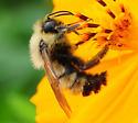 Bombus citrinus - Lemon Cuckoo Bumble Bee - Bombus citrinus - male