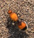 Red ant - Dasymutilla bioculata - female