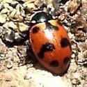 Lady beetle on a Sierra Nevada peak - Hippodamia caseyi