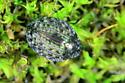 Pill Beetle - Cytilus alternatus