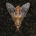chrysops - Chrysops - female